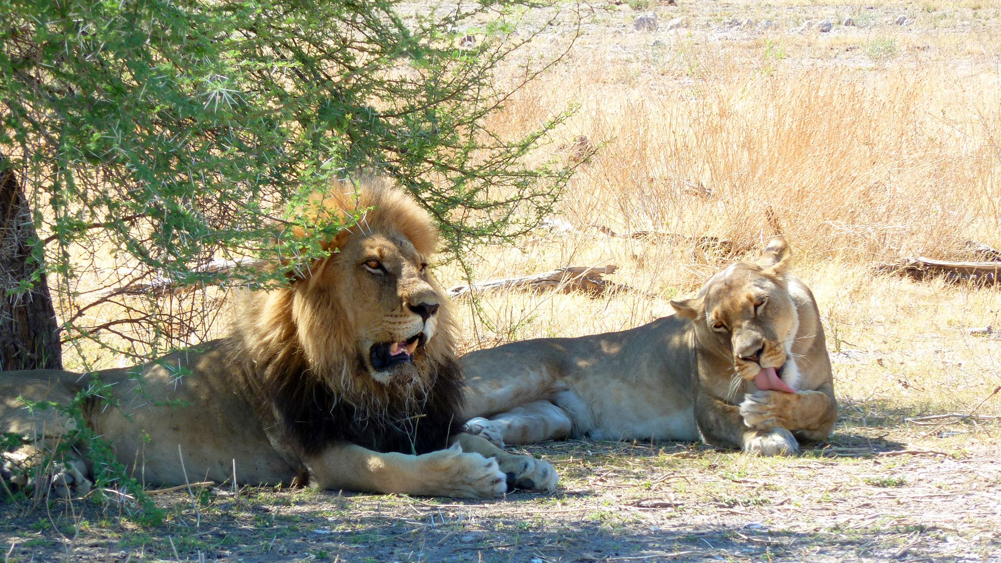 Up close and intimate with wild and free lions in Botswana