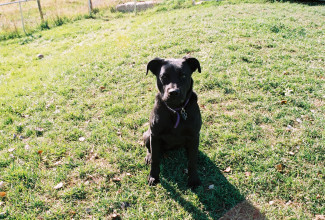 Arwen - our black lab